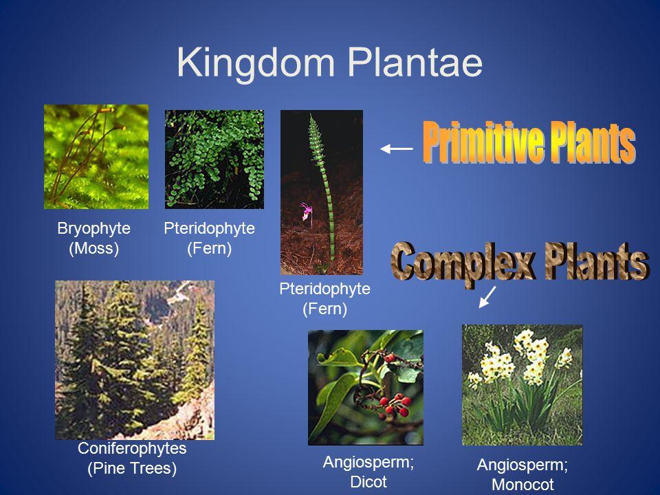 Kingdom Plantae Bryophyte (Moss) Pteridophyte (Fern) Coniferophytes (Pine Trees) Angiosperm; Dicot Angiosperm; Monocot