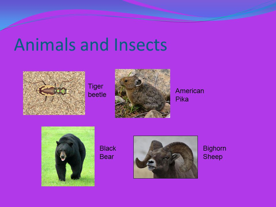 Animals and Insects Tiger beetle American Pika Black Bear Bighorn Sheep