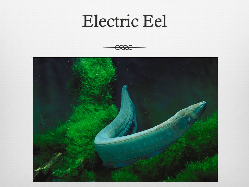 Electric EelElectric Eel