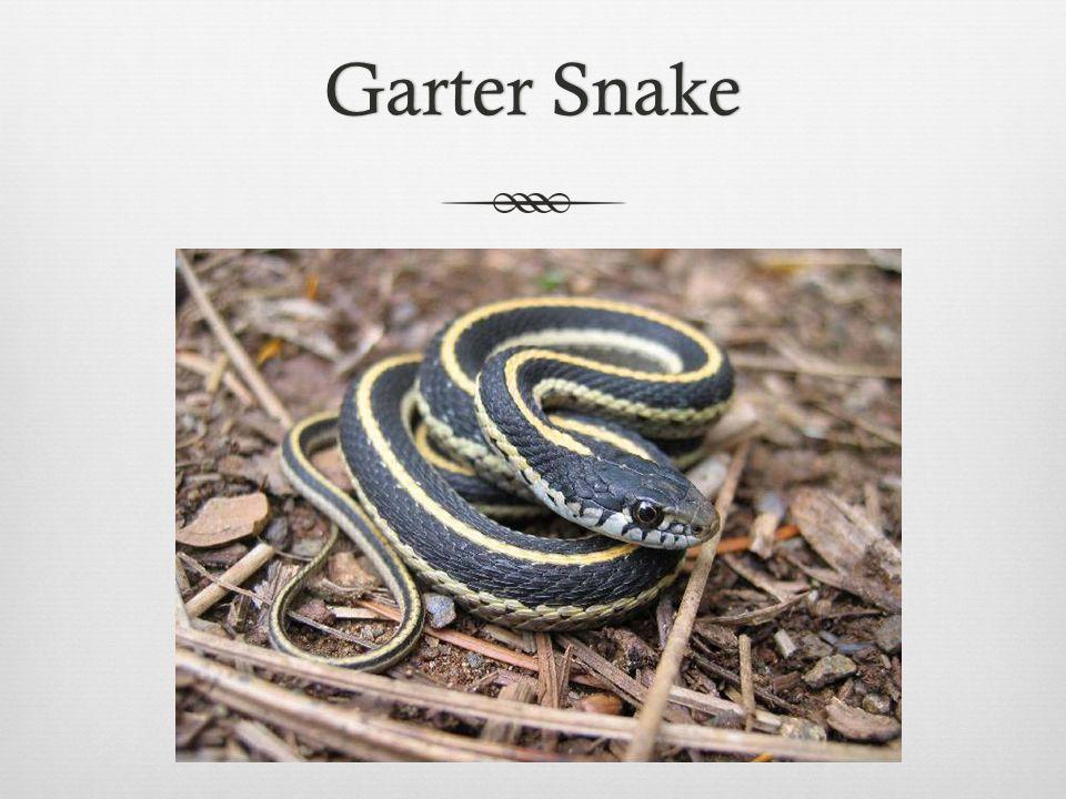 Garter SnakeGarter Snake