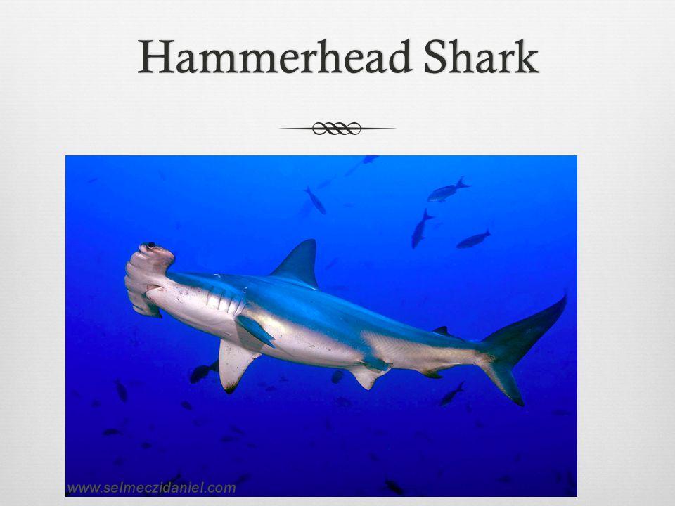 Hammerhead SharkHammerhead Shark