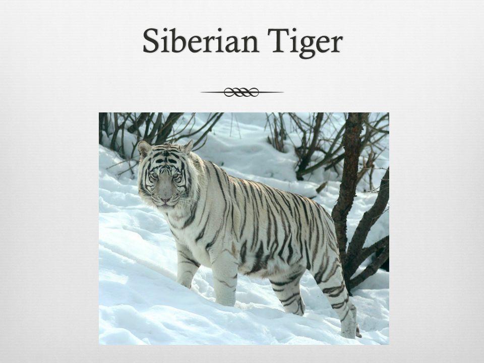 Siberian TigerSiberian Tiger
