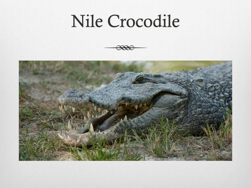 Nile CrocodileNile Crocodile