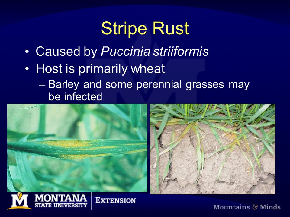 Stripe Rust Caused by Puccinia striiformis Host is primarily wheat –Barley and some perennial grasses may be infected