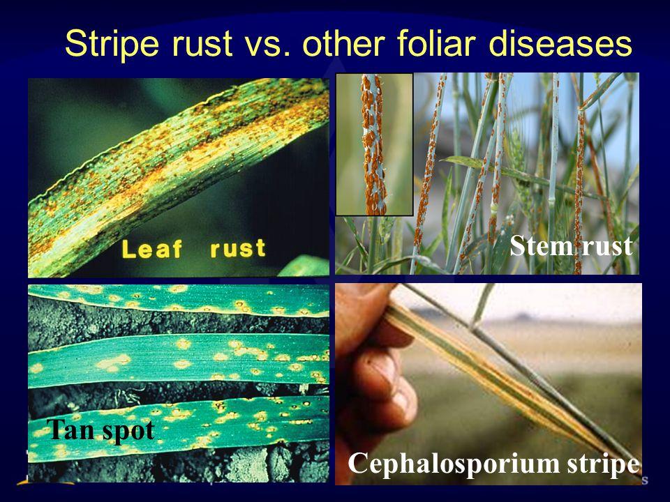 Stripe rust vs. other foliar diseases Tan spot Cephalosporium stripe Stem rust
