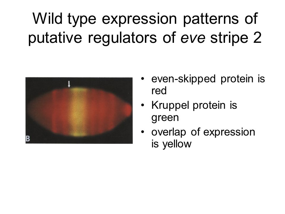 even-skipped protein is red Kruppel protein is green overlap of expression is yellow Wild type expression patterns of putative regulators of eve stripe 2