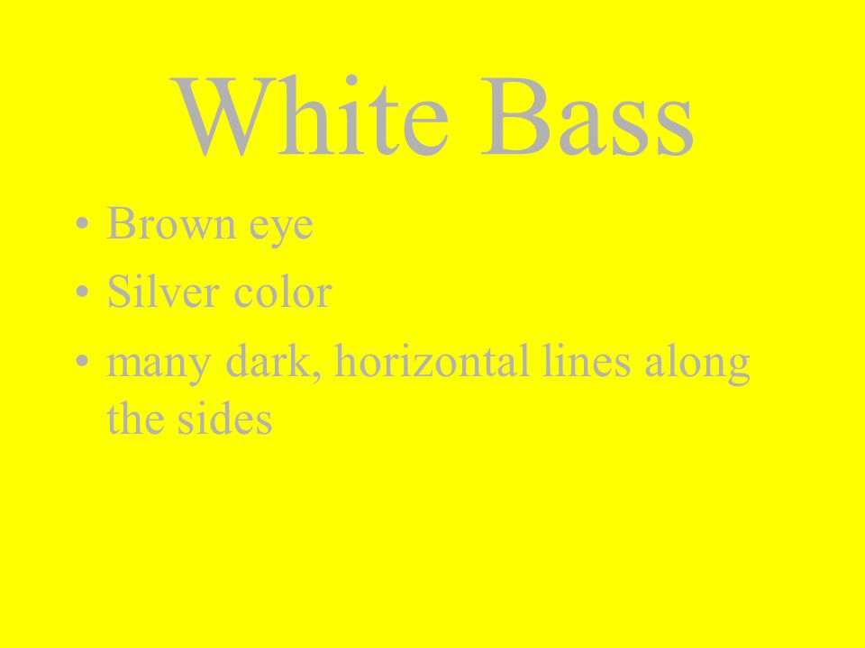 Brown eye Silver color many dark, horizontal lines along the sides White Bass