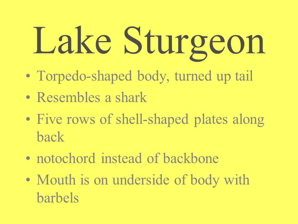 Torpedo-shaped body, turned up tail Resembles a shark Five rows of shell-shaped plates along back notochord instead of backbone Mouth is on underside of body with barbels Lake Sturgeon