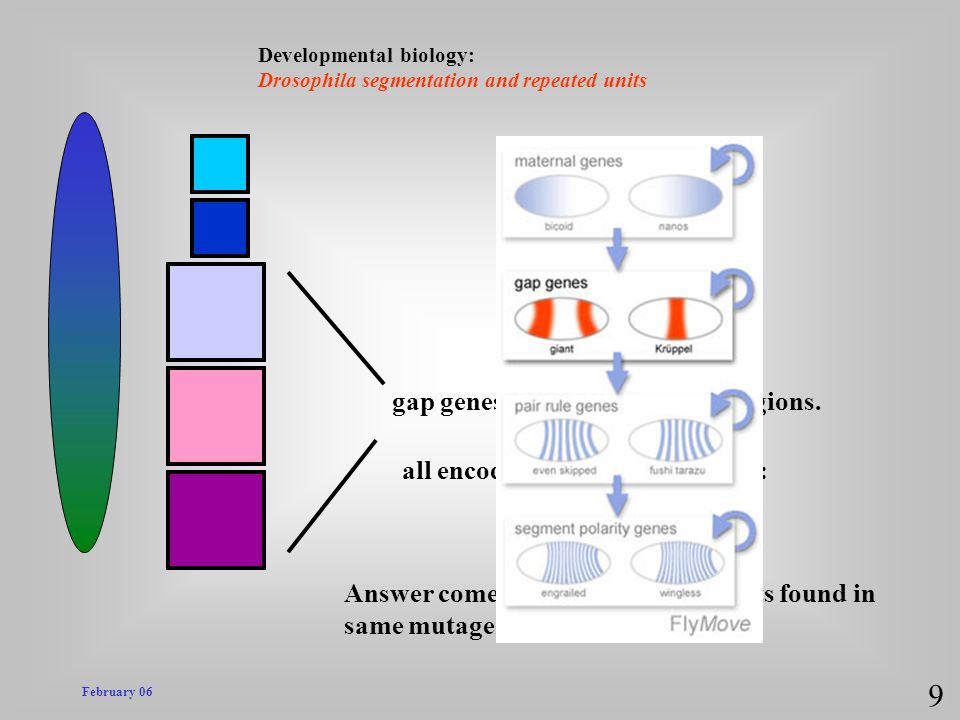 February 06 Developmental biology: Drosophila segmentation and repeated units 9 gap genes expressed in broad regions. Answer comes from group of mutan