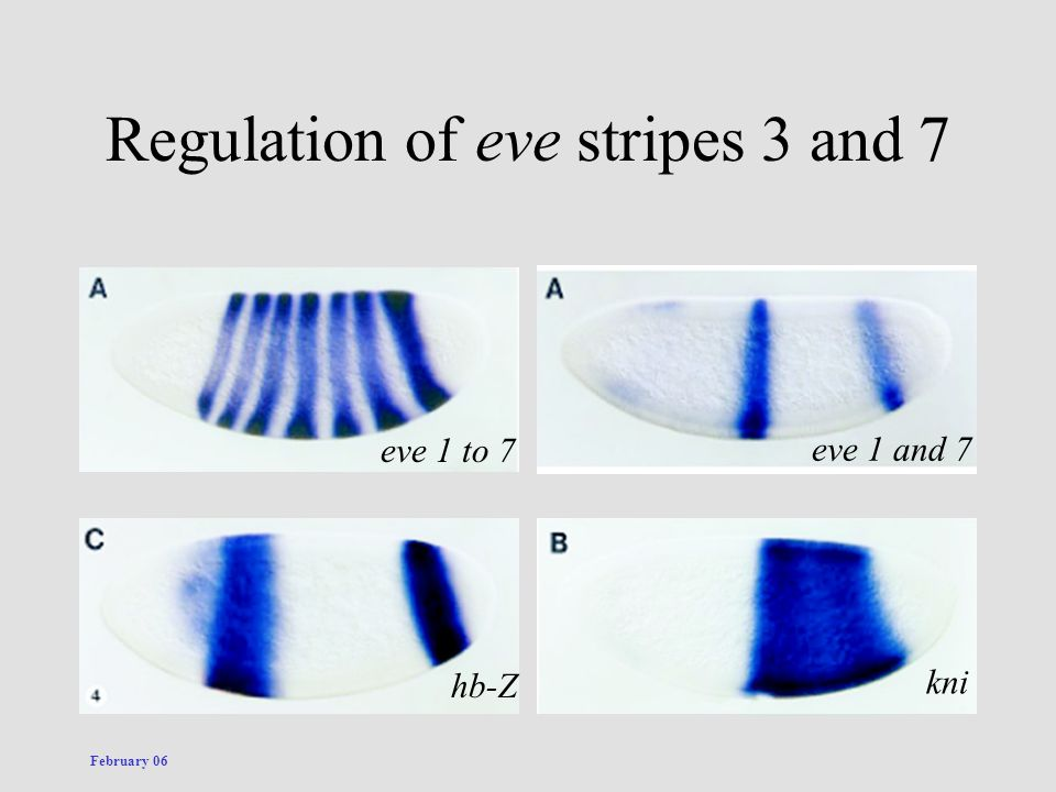 February 06 Regulation of eve stripes 3 and 7 hb-Z kni eve 1 to 7 eve 1 and 7