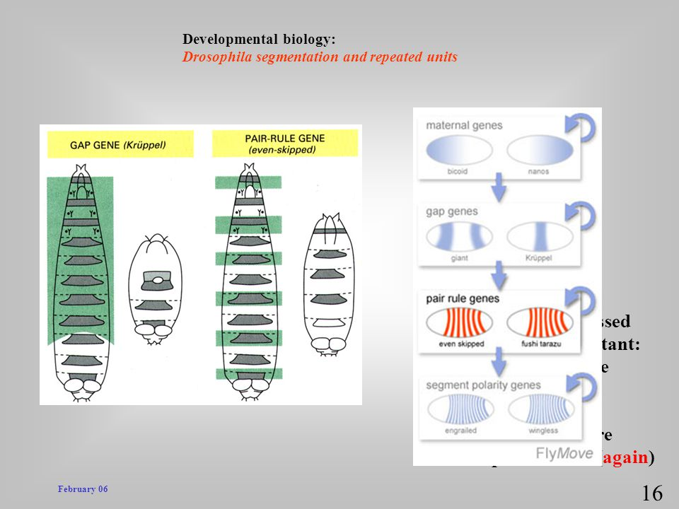 February 06 Developmental biology: Drosophila segmentation and repeated units 16 pair rule genes = pair rule mutants! * in mutant embryo, every other