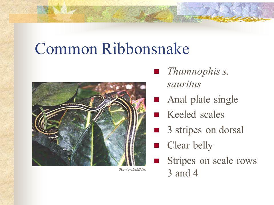 Common Ribbonsnake Thamnophis s.