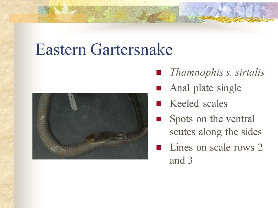 Eastern Gartersnake Thamnophis s.