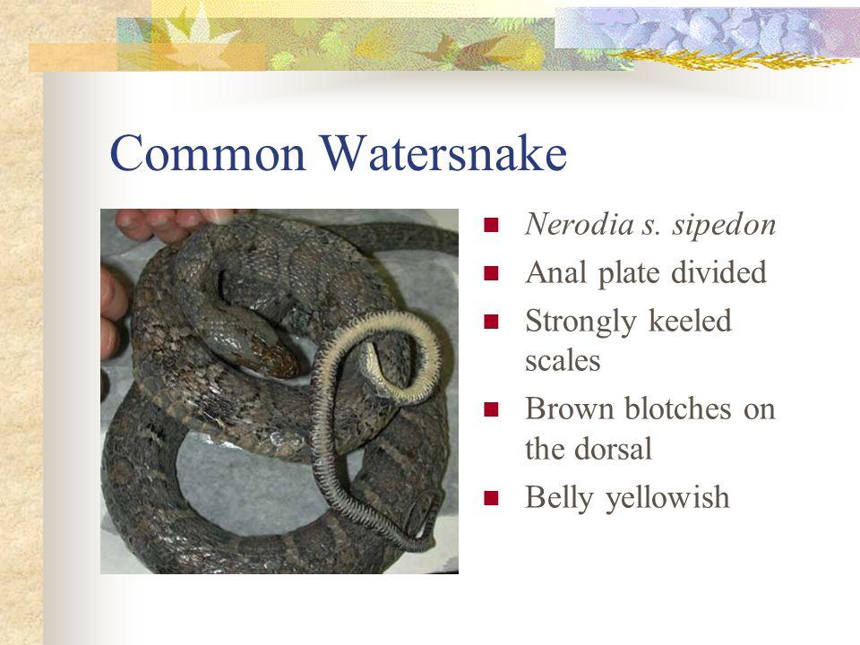 Common Watersnake Nerodia s.