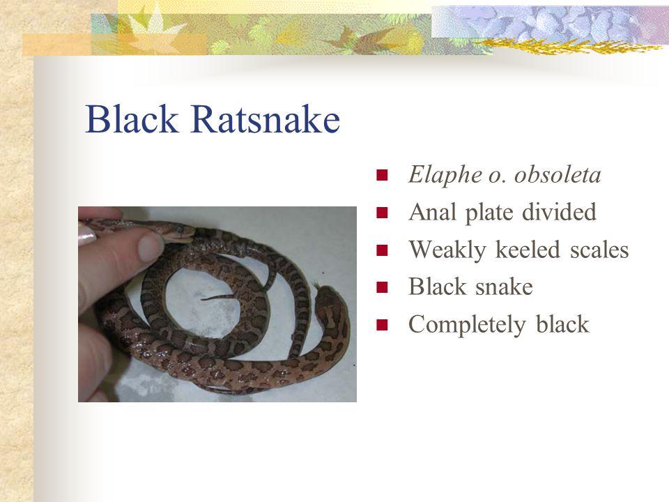 Black Ratsnake Elaphe o. obsoleta Anal plate divided Weakly keeled scales Black snake Completely black