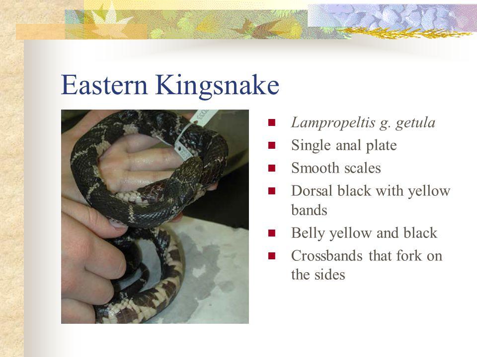 Eastern Kingsnake Lampropeltis g.