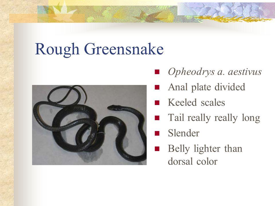 Rough Greensnake Opheodrys a.