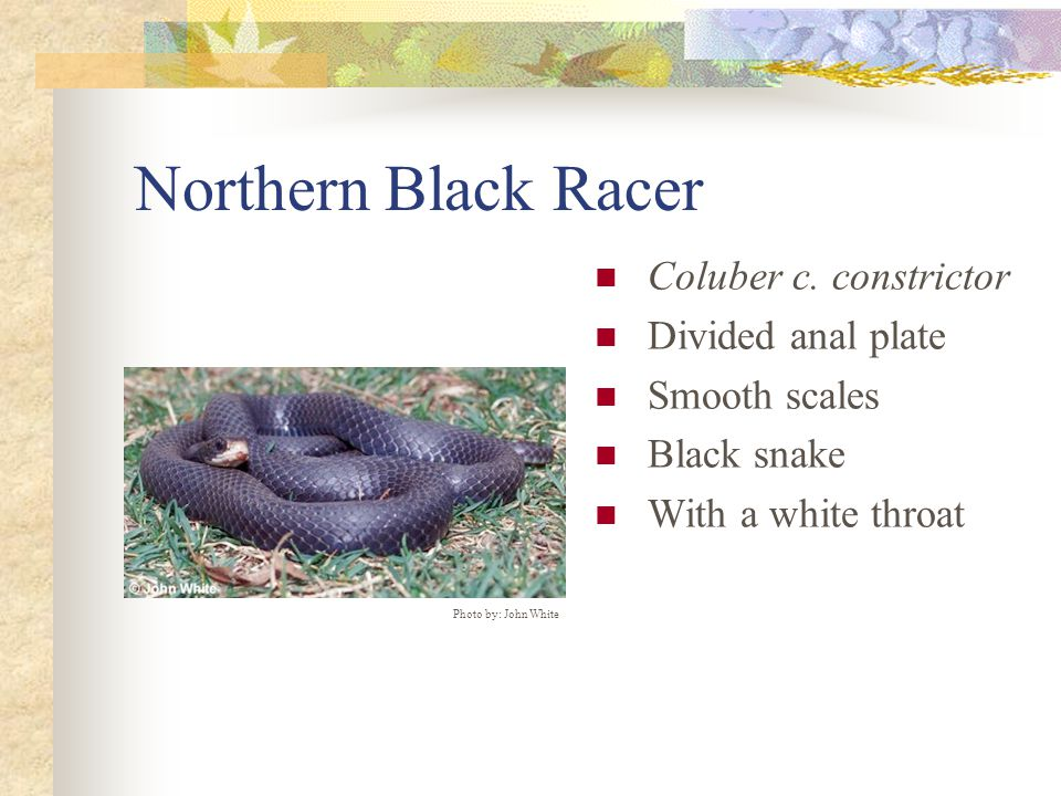 Northern Black Racer Coluber c. constrictor Divided anal plate Smooth scales Black snake With a white throat Photo by: John White