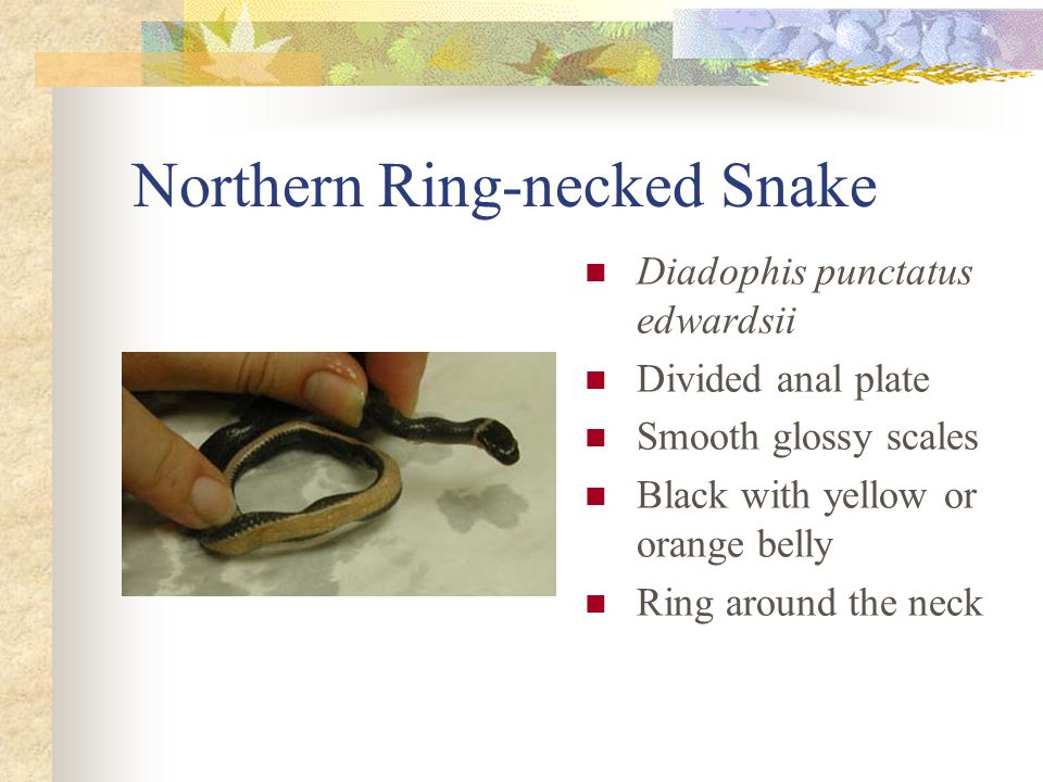 Northern Ring-necked Snake Diadophis punctatus edwardsii Divided anal plate Smooth glossy scales Black with yellow or orange belly Ring around the neck