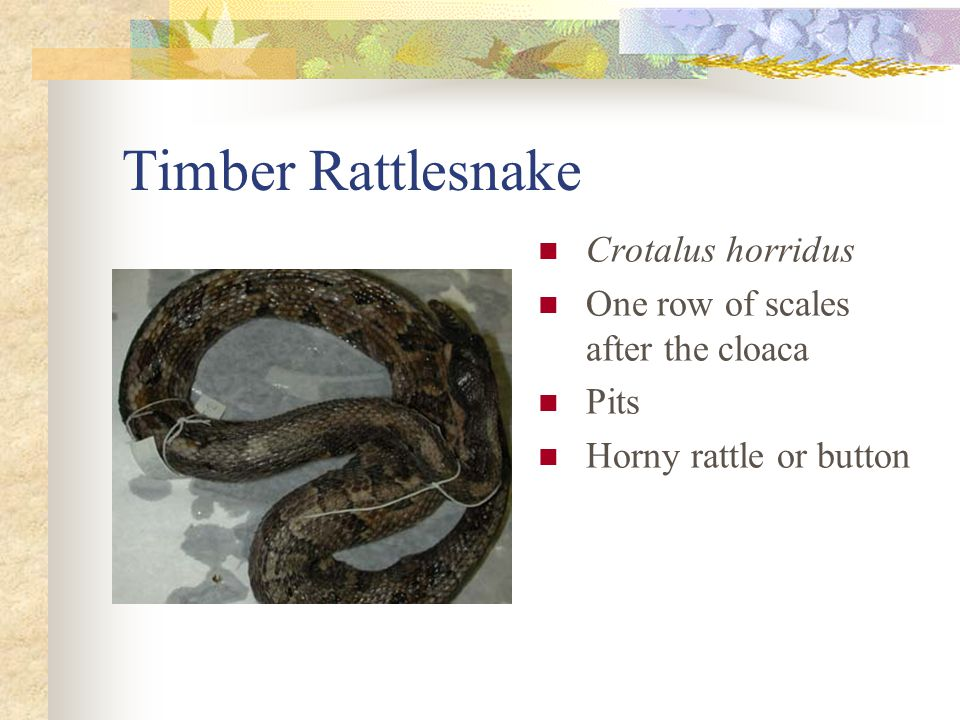 Timber Rattlesnake Crotalus horridus One row of scales after the cloaca Pits Horny rattle or button