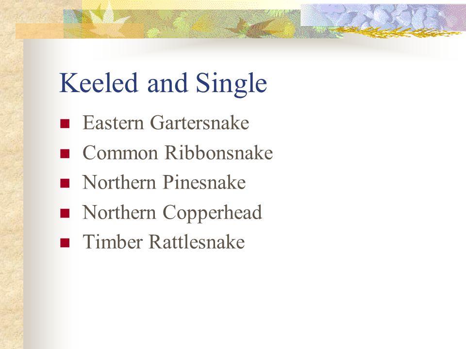 Keeled and Single Eastern Gartersnake Common Ribbonsnake Northern Pinesnake Northern Copperhead Timber Rattlesnake