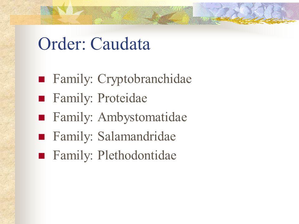 Order: Caudata Family: Cryptobranchidae Family: Proteidae Family: Ambystomatidae Family: Salamandridae Family: Plethodontidae