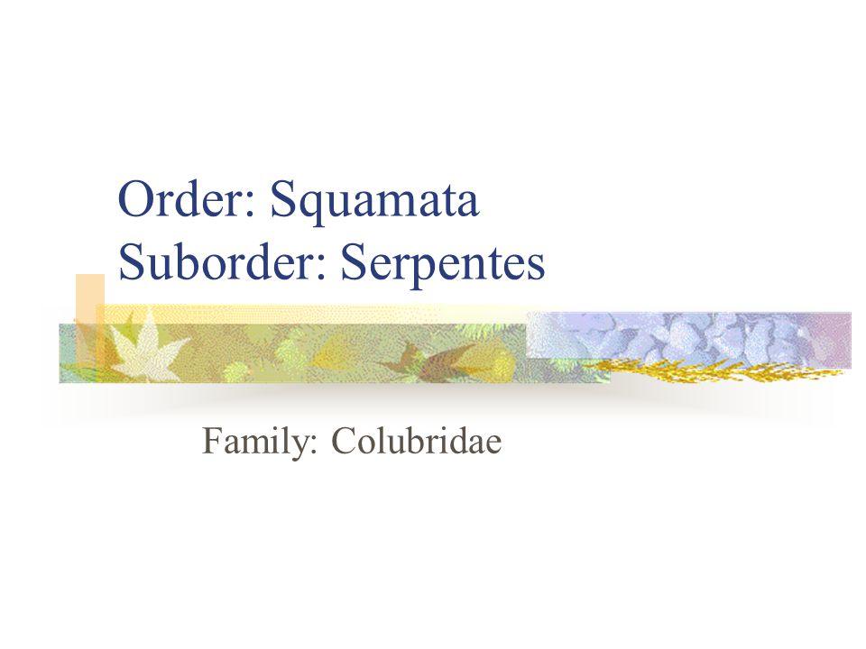 Order: Squamata Suborder: Serpentes Family: Colubridae