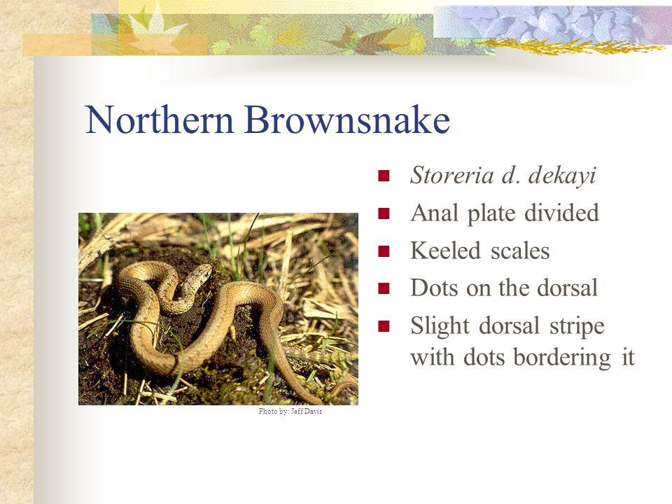 Northern Brownsnake Storeria d.