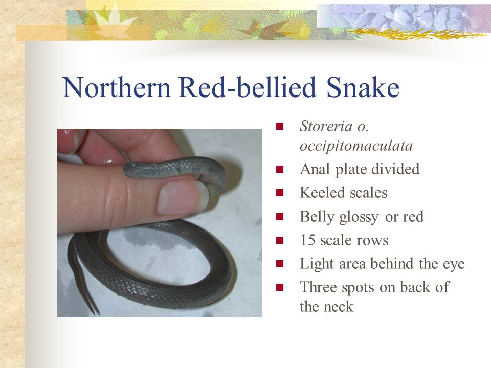 Northern Red-bellied Snake Storeria o.