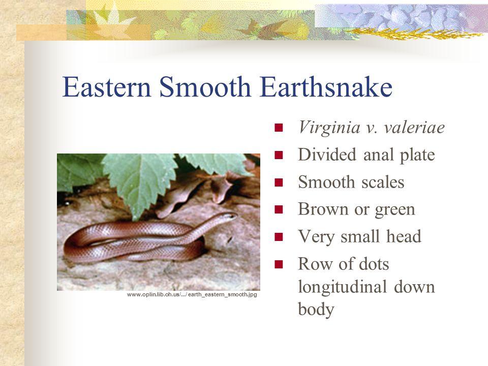Eastern Smooth Earthsnake Virginia v.