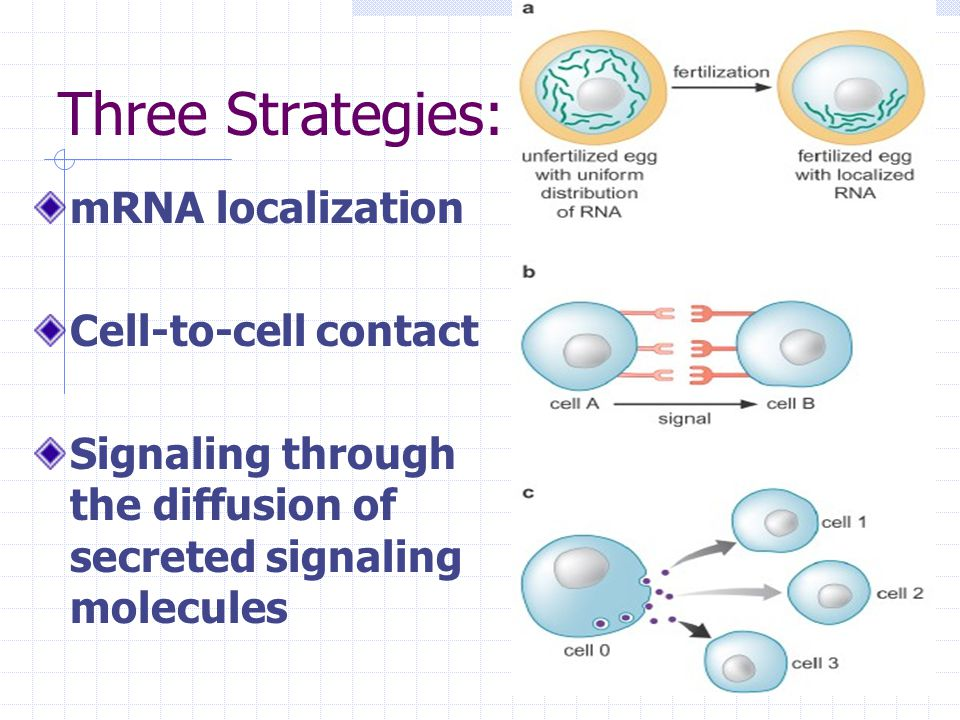 mRNA Localization Controls Mating Type in Yeast A haploid yeast cell budding to produce a mother cell and a smaller daughter cell.