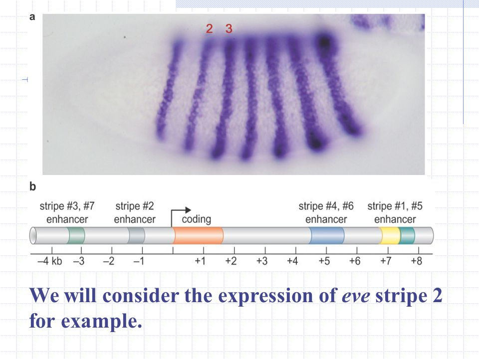 Hunchback and Gap proteins produce Segmentation Stripes of Gene Expression The eve gene is expressed in a series of seven alternating or pair-rule str