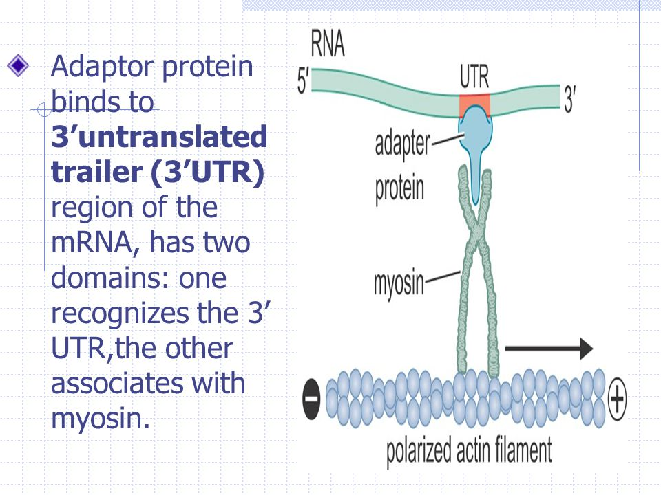Adaptor protein binds to 3'untranslated trailer (3'UTR) region of the mRNA, has two domains: one recognizes the 3' UTR,the other associates with myosin.