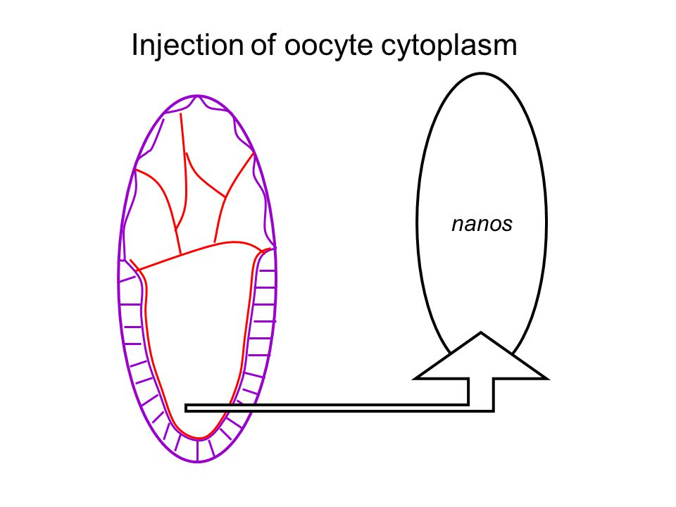nanos Injection of oocyte cytoplasm