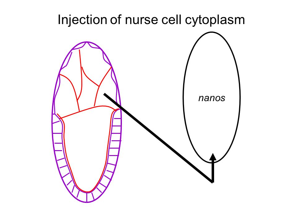 nanos Injection of nurse cell cytoplasm