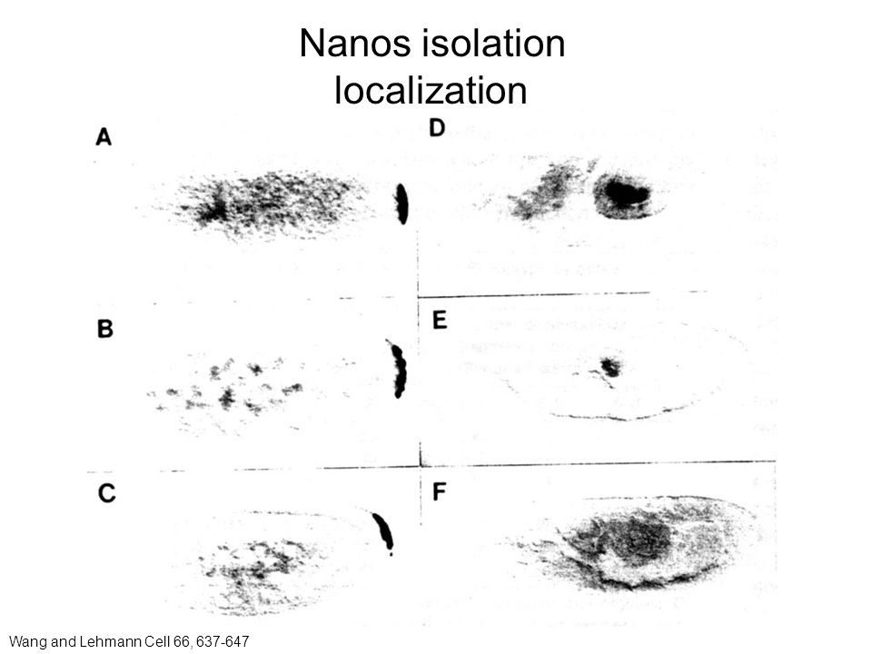 Nanos isolation localization Wang and Lehmann Cell 66, 637-647