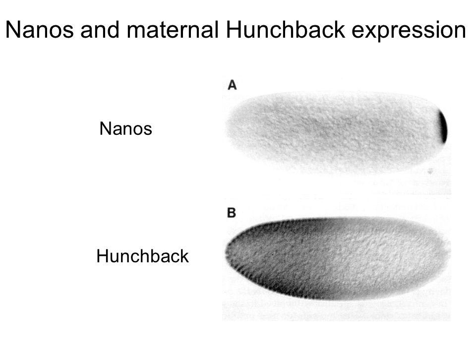 Nanos and maternal Hunchback expression Nanos Hunchback