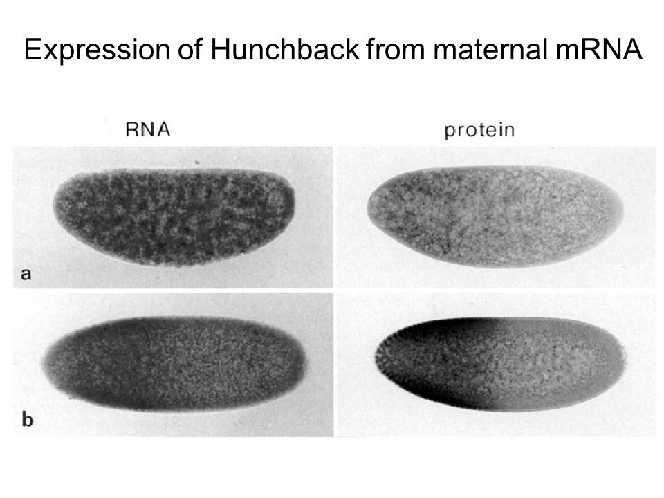 Expression of Hunchback from maternal mRNA