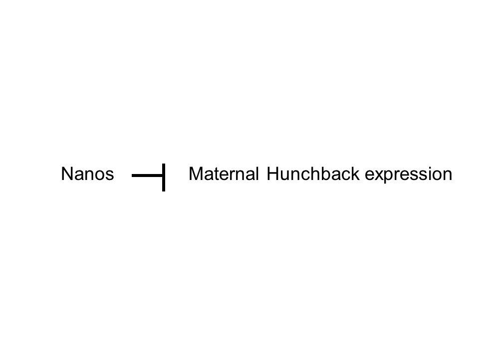 NanosMaternal Hunchback expression