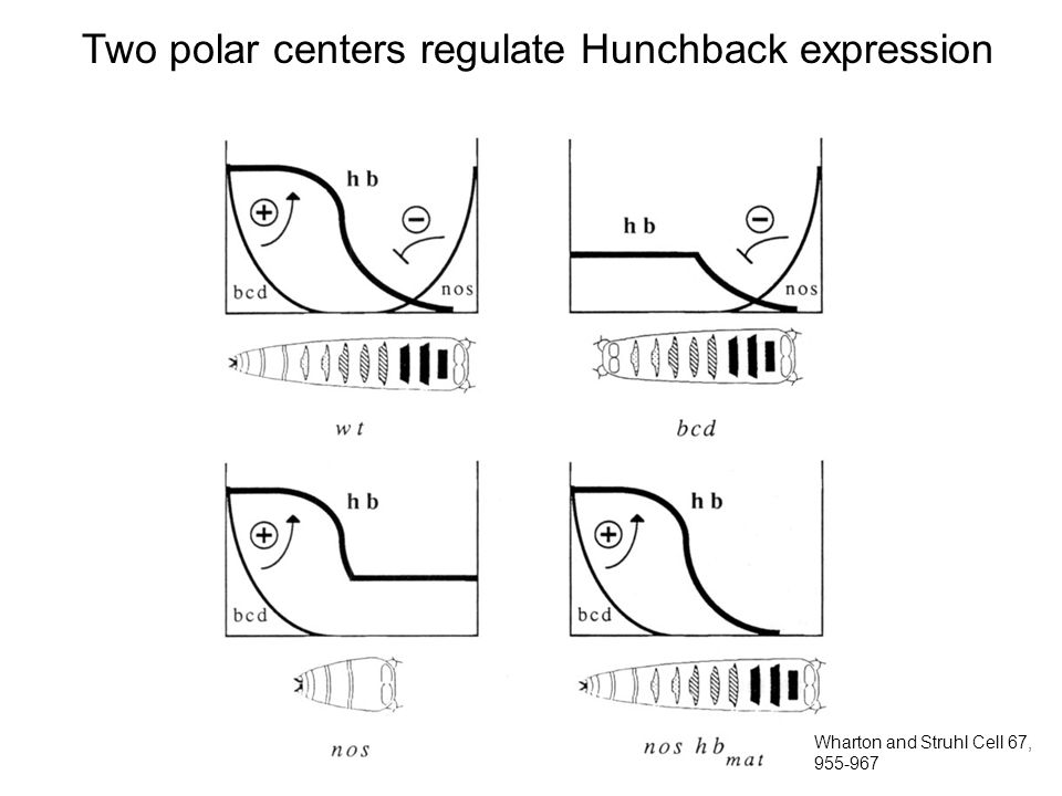 Two polar centers regulate Hunchback expression Wharton and Struhl Cell 67, 955-967