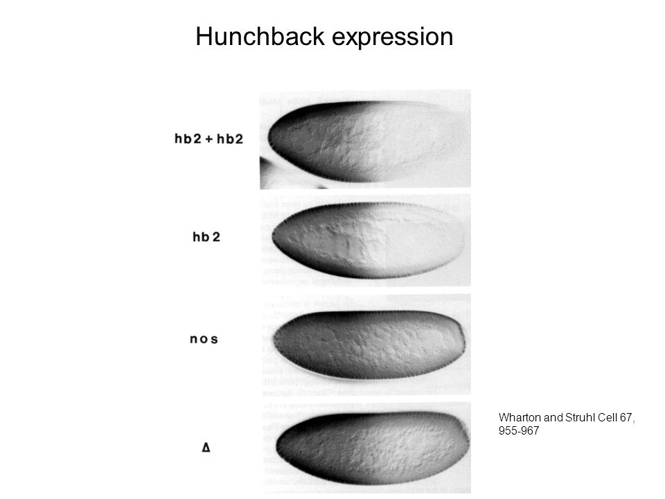 Hunchback expression Wharton and Struhl Cell 67, 955-967