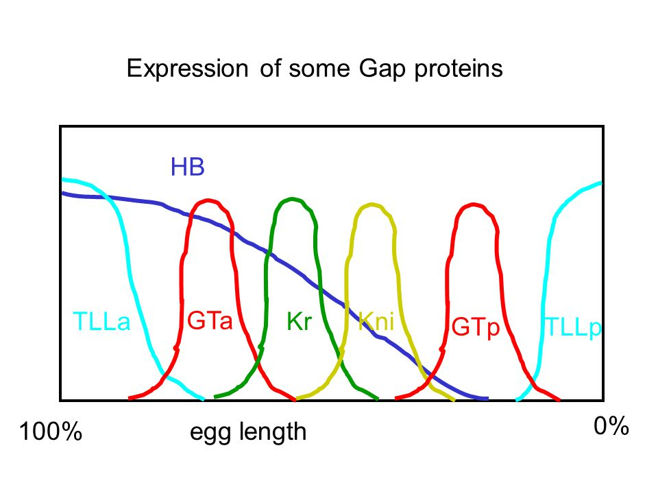 100% egg length 0% HB TLLa TLLp GTa GTp KrKni Expression of some Gap proteins