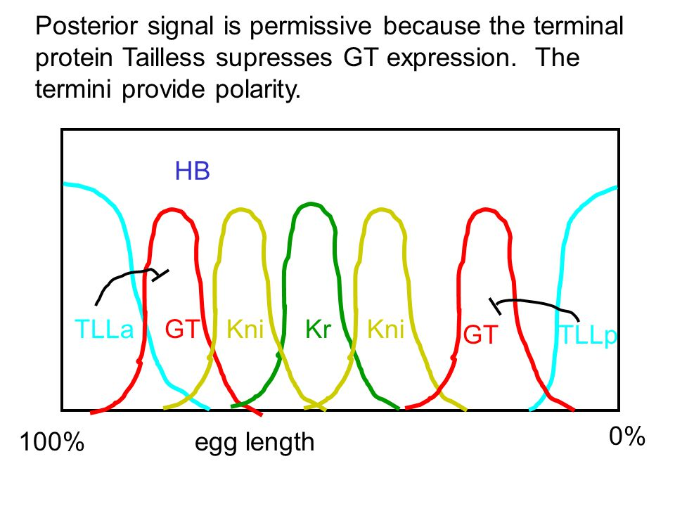 100% egg length 0% HB TLLa TLLp GT KrKni Posterior signal is permissive because the terminal protein Tailless supresses GT expression.