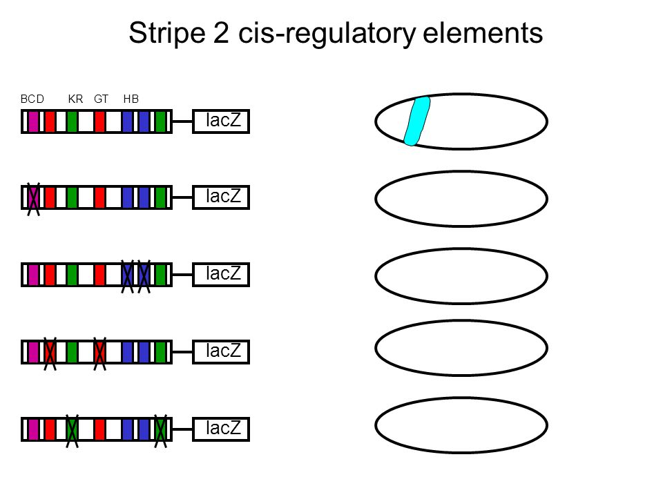 Stripe 2 cis-regulatory elements lacZ HBKRBCDGT lacZ