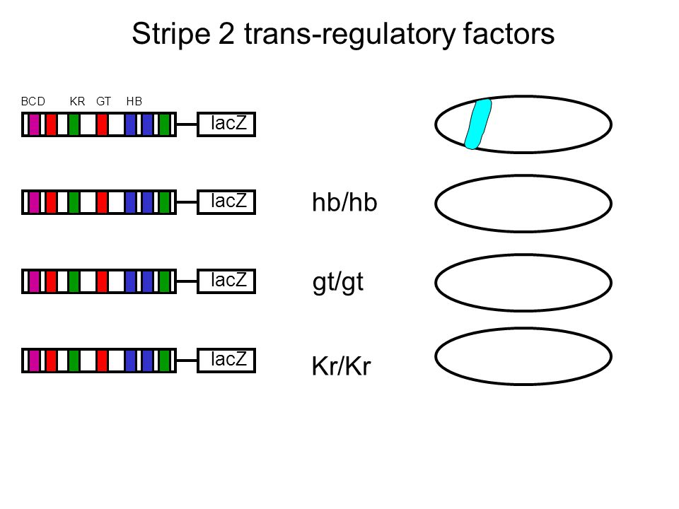 Stripe 2 trans-regulatory factors lacZ HBKRBCDGT lacZ hb/hb gt/gt Kr/Kr