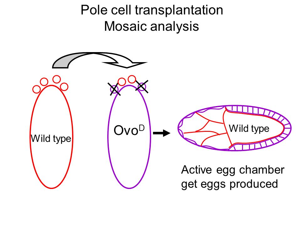 Pole cell transplantation Mosaic analysis Ovo D Wild type Active egg chamber get eggs produced