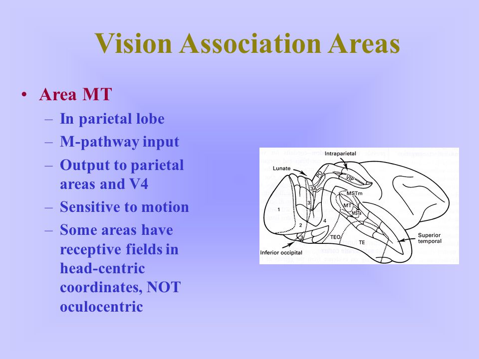 Vision Association Areas Area MT –In parietal lobe –M-pathway input –Output to parietal areas and V4 –Sensitive to motion –Some areas have receptive f