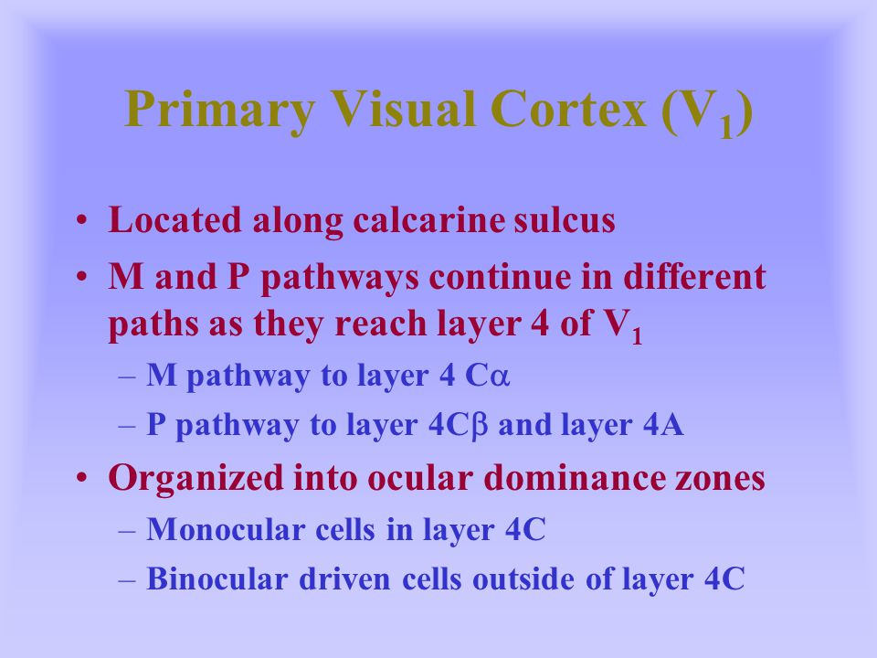 Primary Visual Cortex (V 1 ) Located along calcarine sulcus M and P pathways continue in different paths as they reach layer 4 of V 1 –M pathway to la