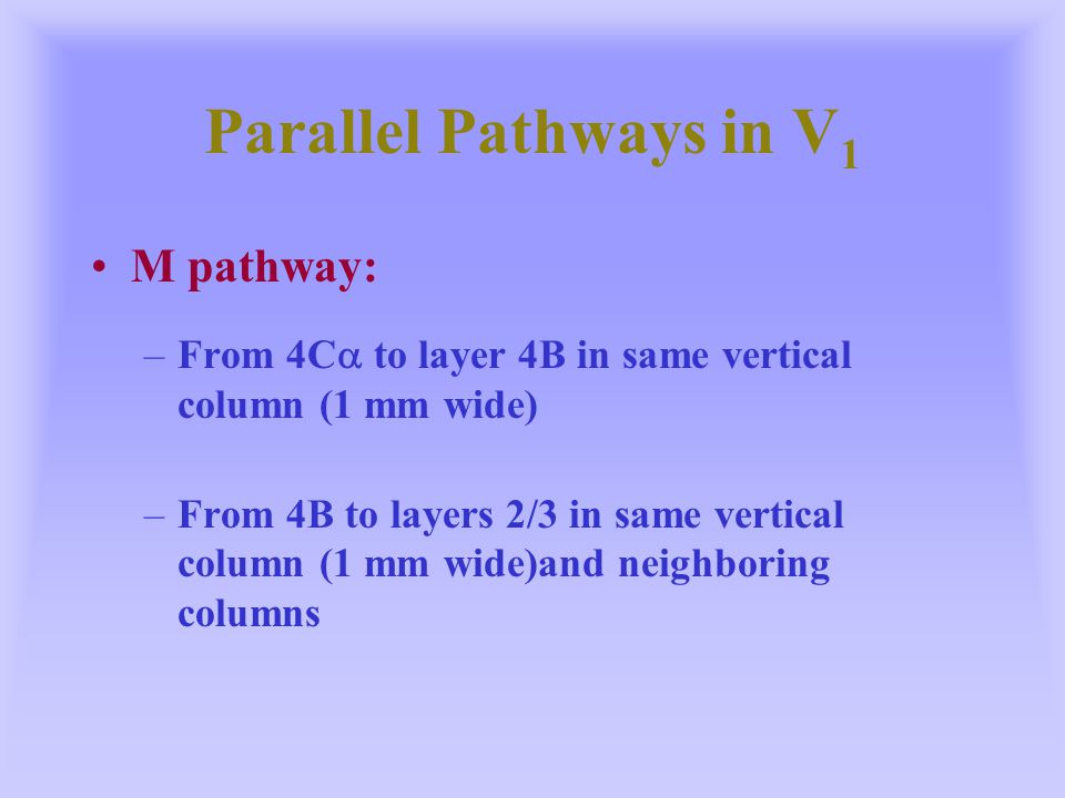 Parallel Pathways in V 1 M pathway: –From 4C  to layer 4B in same vertical column (1 mm wide) –From 4B to layers 2/3 in same vertical column (1 mm wi