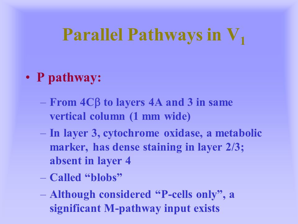 Parallel Pathways in V 1 Blob and interblob regions:a split in the parvocellular pathway Blob regions are situated in the center of ocular dominance columns –Blob regions: color opponency, low contrast and spatial frequency, not orientation selective –Interblob regions: little color opponency, high contrast and spatial frequency, very orientation selective